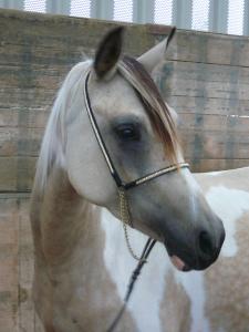 Pessy, Jument née en 2003 à l'elevage des Albezia